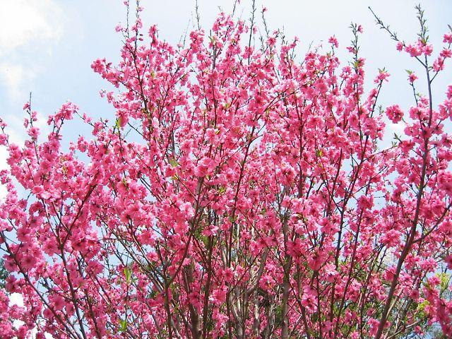 ホウキ桃(花桃の一種)