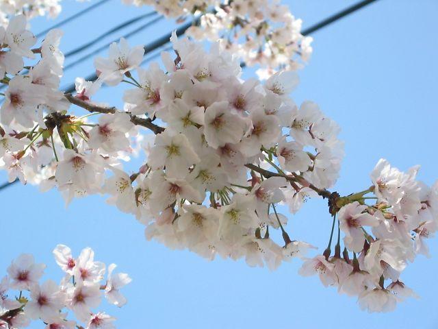 田久桜公園の桜