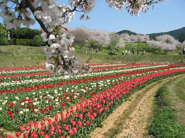 ふる里村の桜とチューリップ