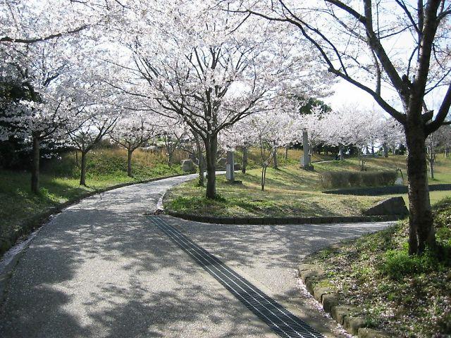 円形広場の桜