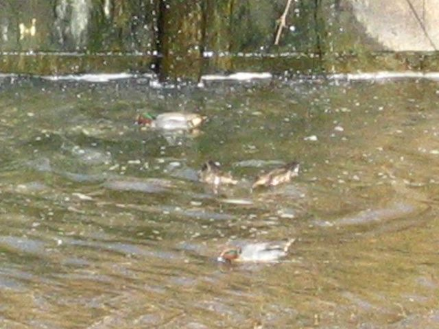 釣り川のコガモ