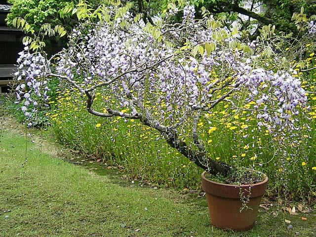 鉢植えの藤の花