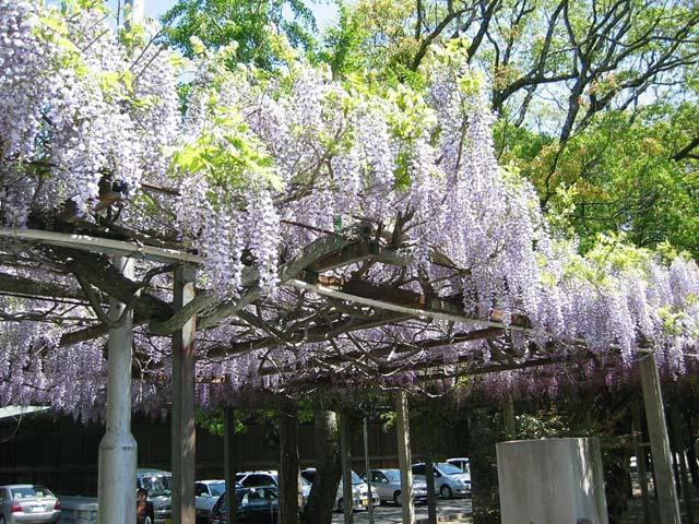 宮地岳神社の山藤