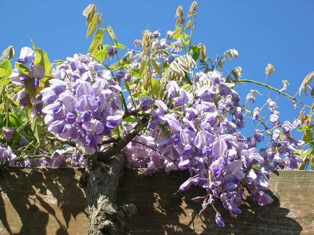 山藤の花房