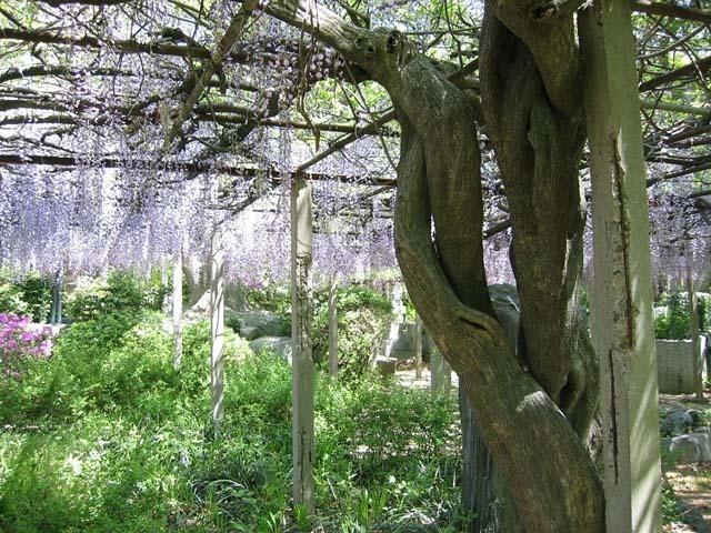 宮地岳神社の藤