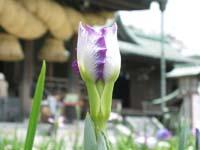 開花直前の、ツボミ
