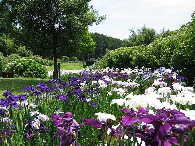 花菖蒲苑の紫陽花