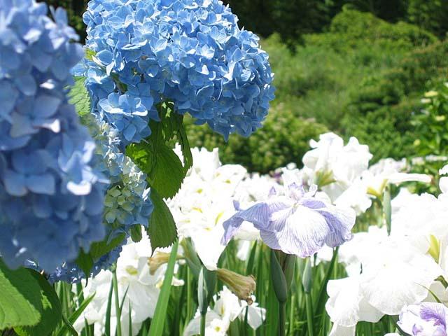 紫陽花と、花菖蒲