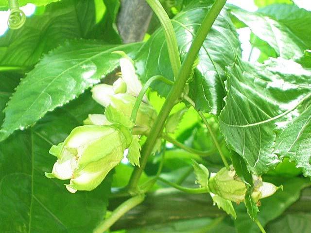 フアッションフルーツの花