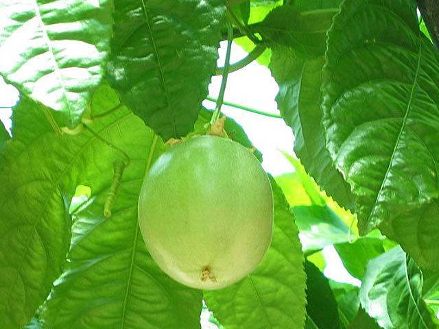フアッションフルーツの実