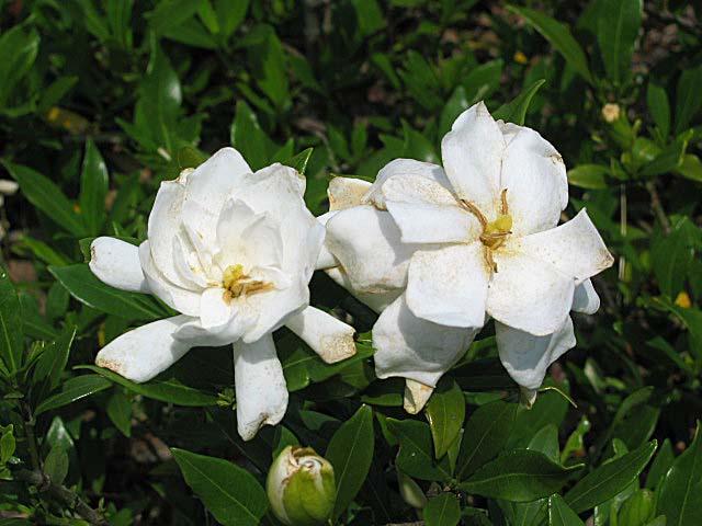 ヒメクチナシの花