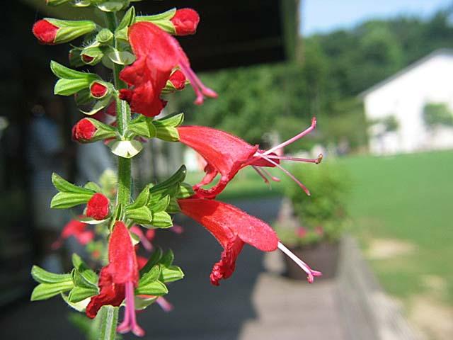 サルビア コクシネア (紅花)