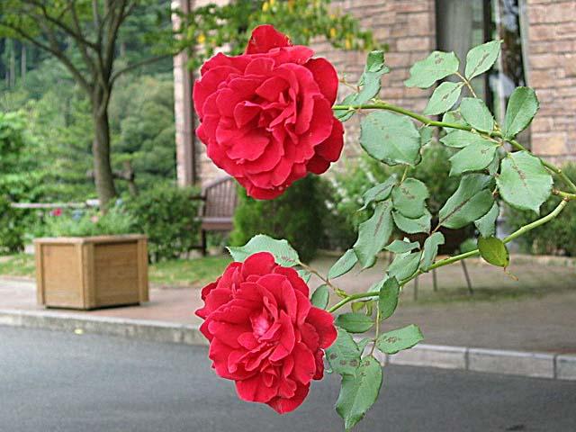 薔薇(ドンフアン)