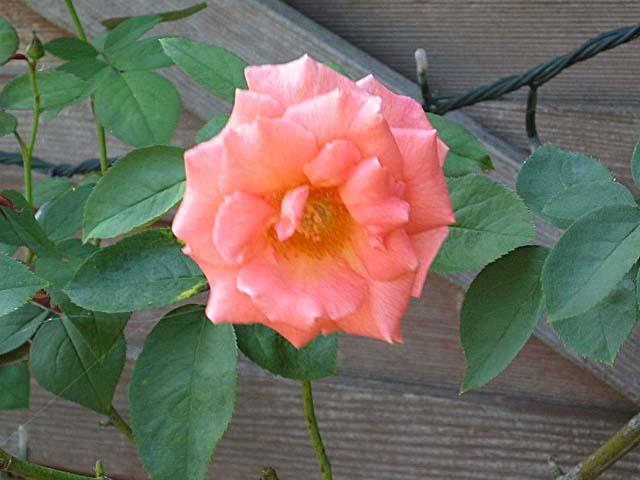 薔薇(エマニエル)