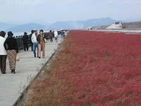 紅葉の、シチメンソウ群は、落晩秋の風物詩