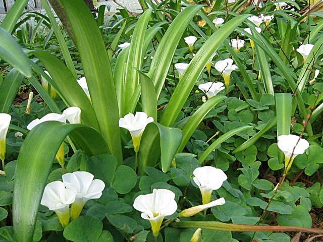 白花オキザリス