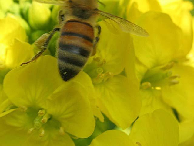寒咲き菜と蜂