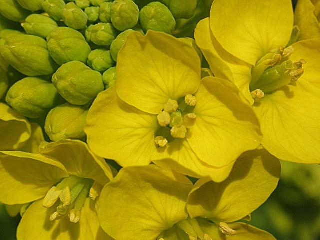 寒咲き菜、花と花芽
