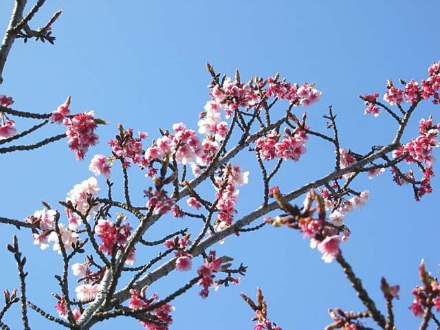 熱海緋寒桜