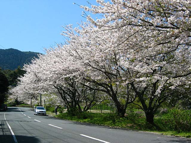 幽霊坂の桜