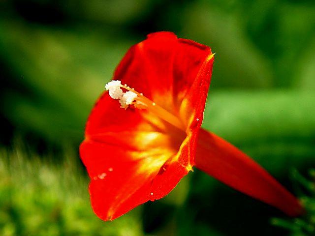 マルバ縷紅草 (丸葉るこうそう)(53714 byte)