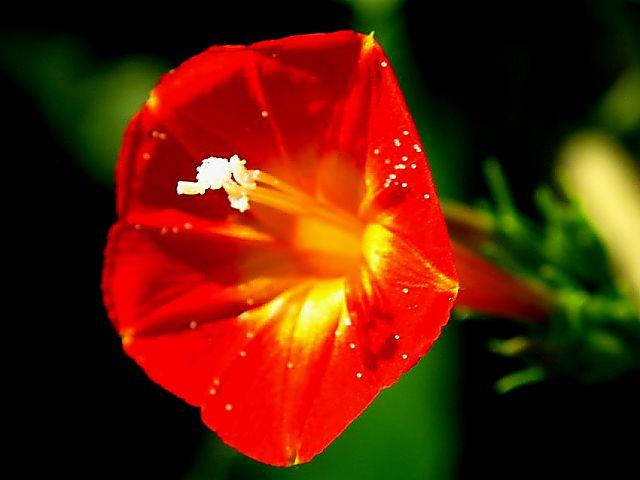 マルバ縷紅草 (丸葉るこうそう)(60809 byte)