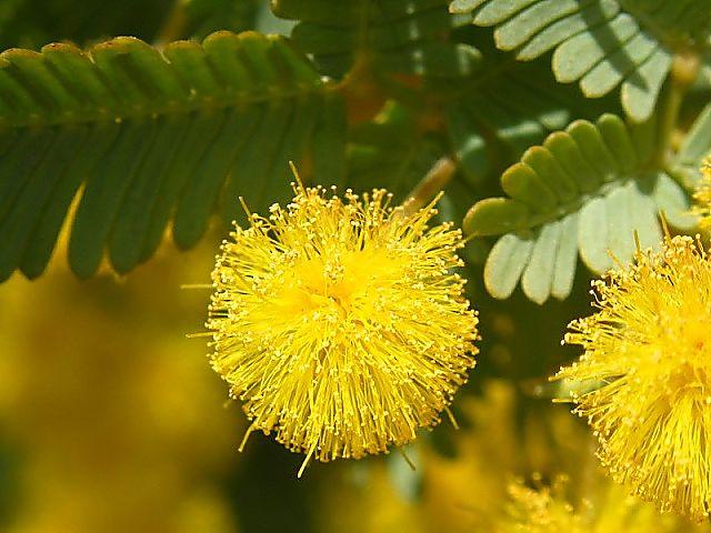 ミモザアカシア