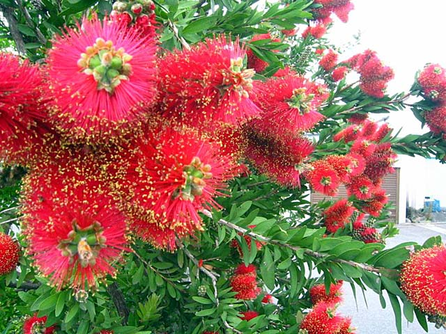 キンポウジュ(金宝樹)/ブラシの木