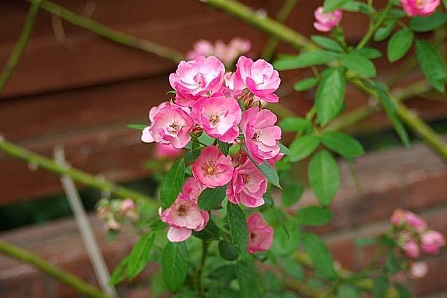 薔薇(アンジェラ)