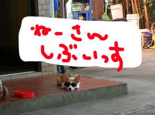 shibu.jpg