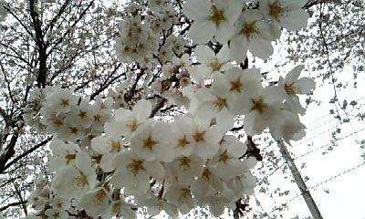 2010.4.4 桜