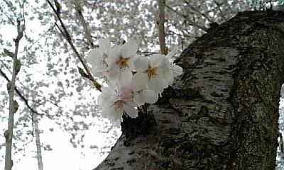 2010.4.4 桜3