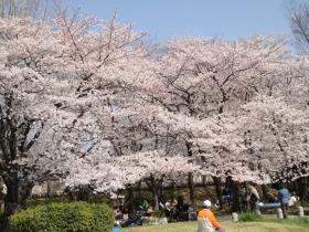 サクラ2012 舞鶴公園
