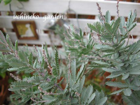 紫銀葉アカシア プルプレア