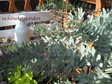 紫銀葉アカシア プルプレア蕾