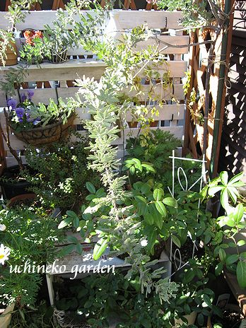 紫銀葉アカシア