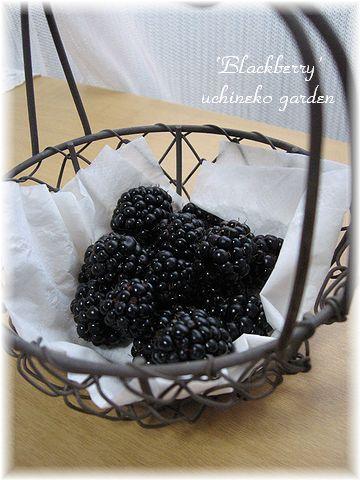 今日の収穫 ブラックベリー