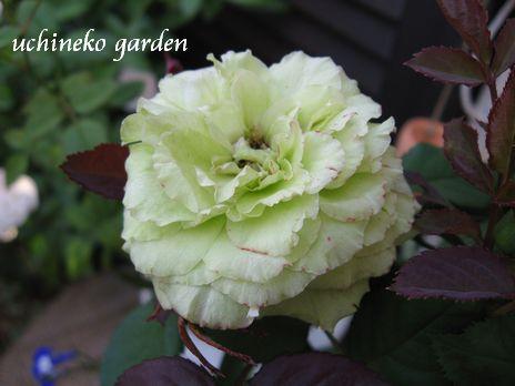 Roses Forever3