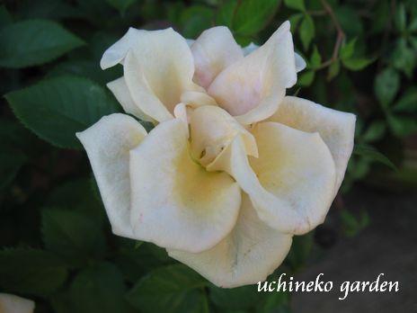 Roses Forever5