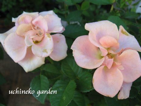 Roses Forever6