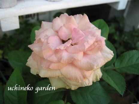 Roses Forever7