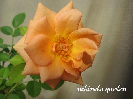 ローズフォーエバー社のバラ