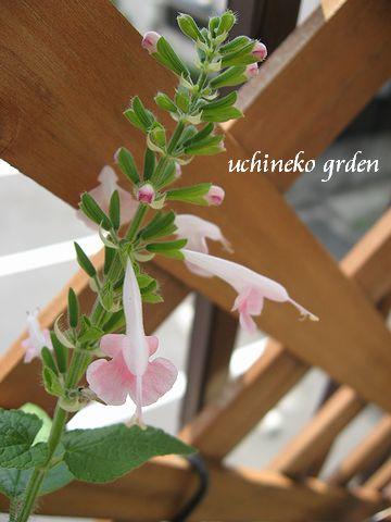 サルビア ピンク