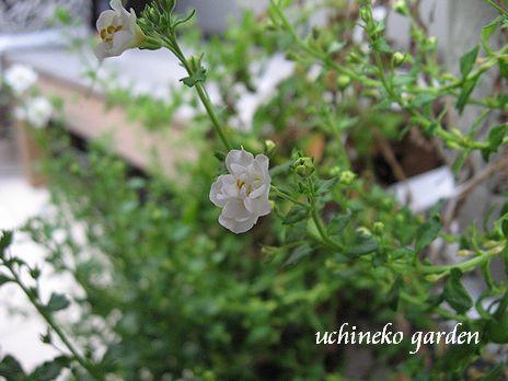 八重咲きバコパ ダブルスノー