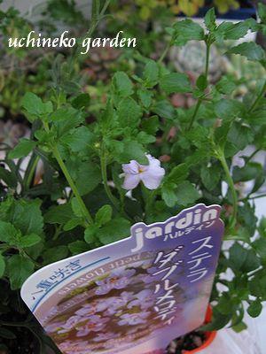 八重咲きバコパ