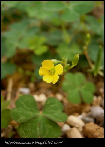 黄色い花だよ(v。v)
