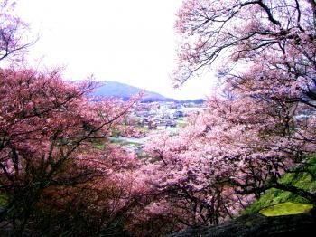 2010_0409sakura0010_convert_20100411151945.jpg