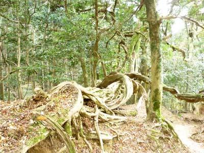 鞍馬の山の木の根っこ