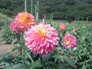 雄和町ダリア02