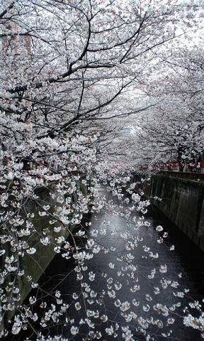 目黒川桜2S